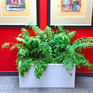 Ferns in white planters, red wall